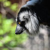 Svartvit vari - Black-and-white ruffed lemur