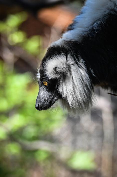 photoblog image Svartvit vari - Black-and-white ruffed lemur