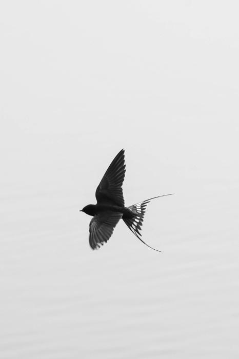 photoblog image Ladusvala - Barn swallow (Hirundo rustica)
