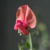 Luktärt - Sweet pea (Lathyrus odoratus)
