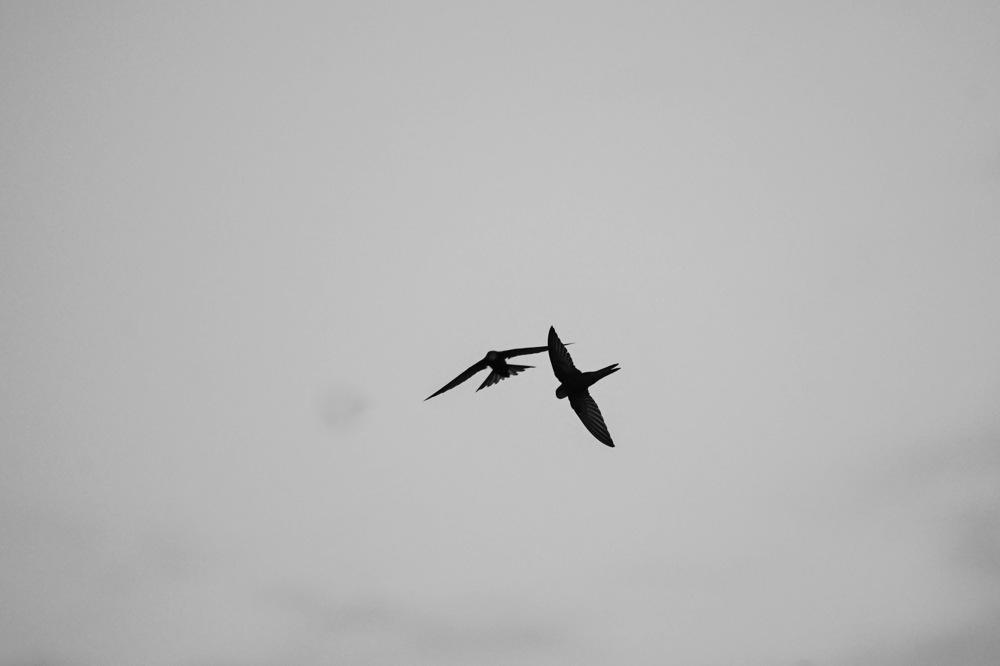 photoblog image Tornseglare - Common swift (Apus apus)