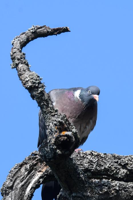 photoblog image Ringduva - Common wood pigeon (Columba palumbus)