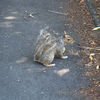 Grå ekorre - Grey squirrel (Sciurus carolinensis)