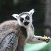 Ringsvanslemur -  Ring-tailed lemur (Lemur catta)