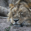 Asiatiskt lejon - Asiatic lion (Panthera leo persica)