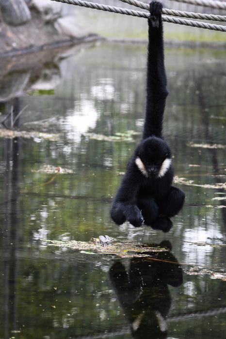 photoblog image Nordlig vitkindad gibbon -Northern white-cheeked Gibbon