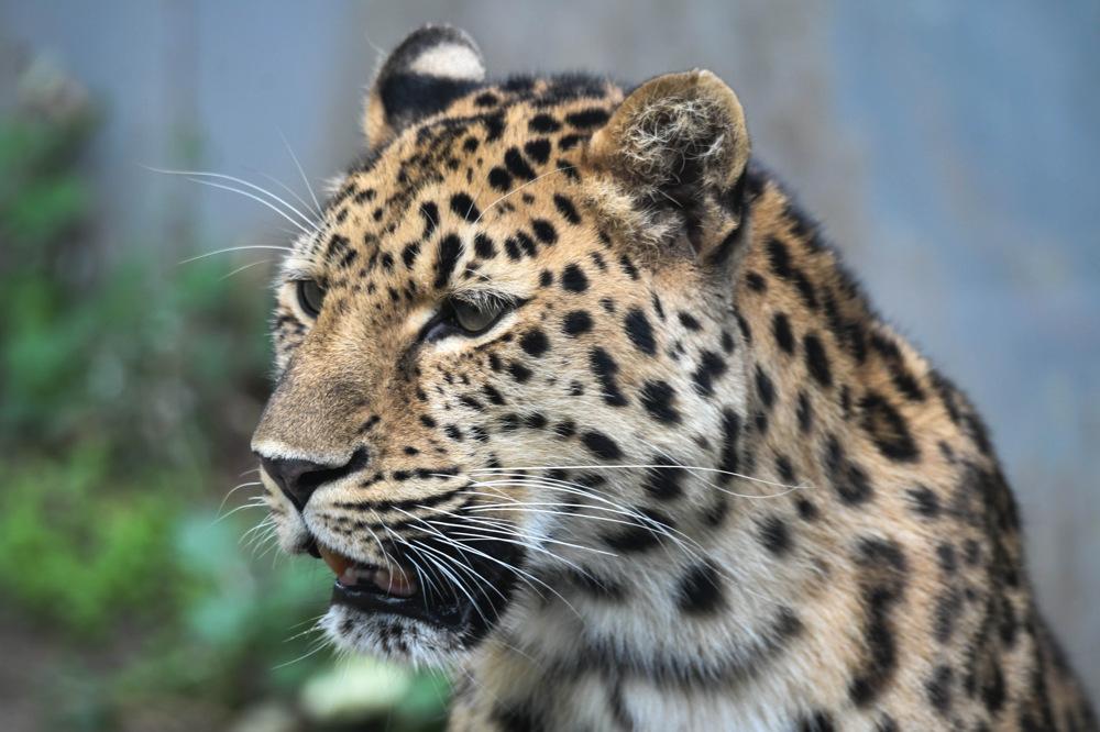 photoblog image Amur leopard (Panthera pardus orientalis)