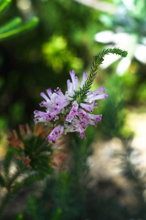 photoblog image Erica verticillata