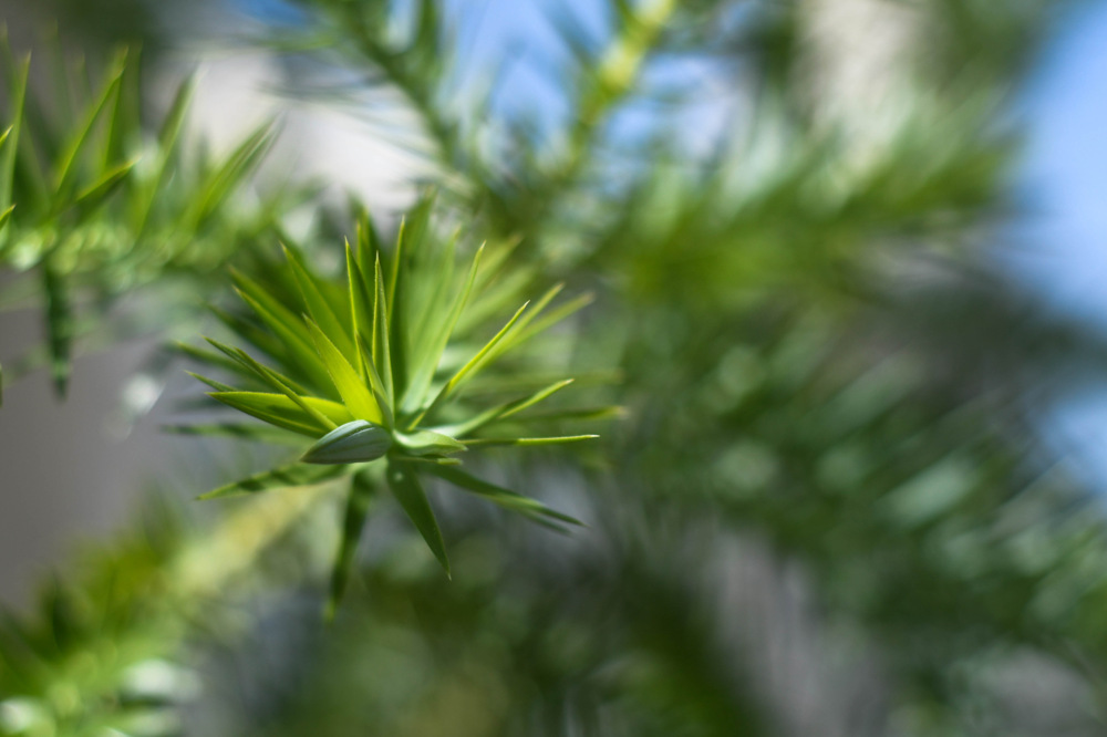 photoblog image Araucaria