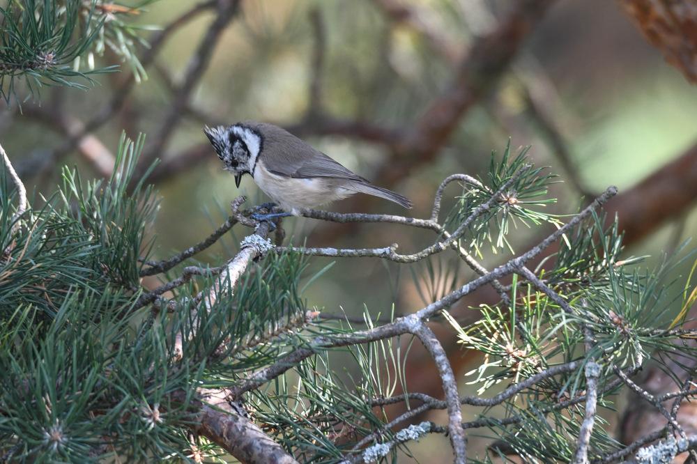 photoblog image Tofsmes - Crested tit (Lophophanes cristatus)