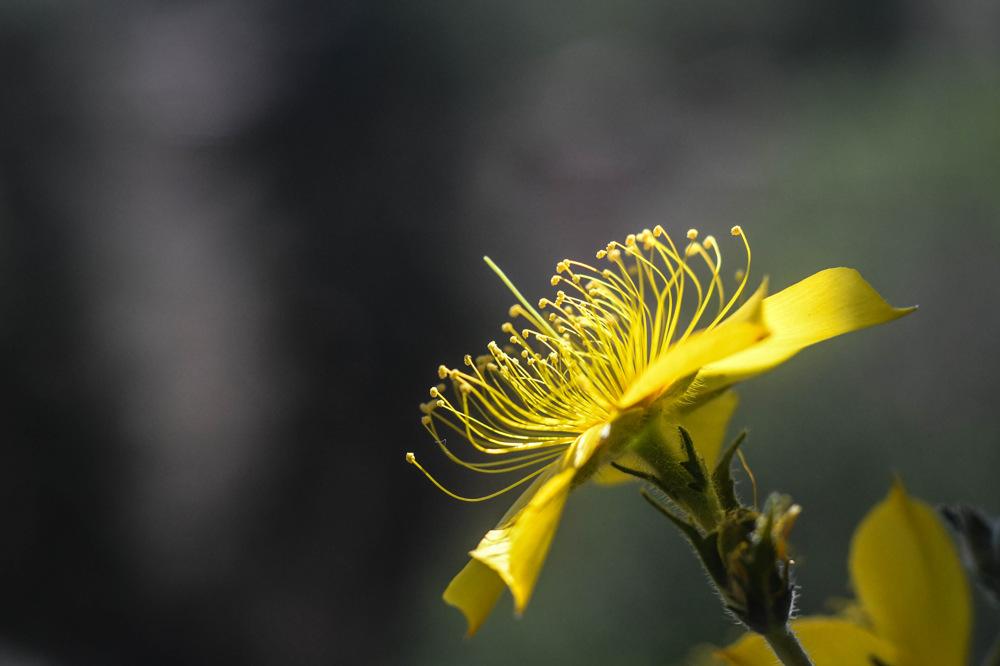 photoblog image Gullstråle - Blazing star (Mentzelia lindleyi)