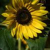 Solros - Sunflower (Helianthus annuus)