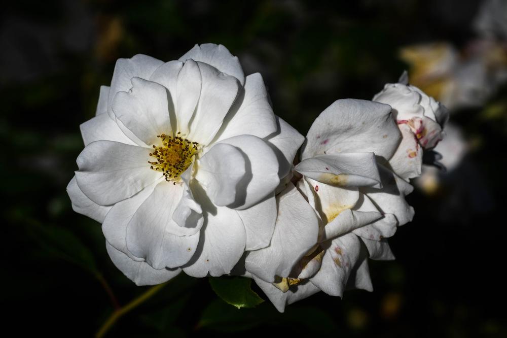 photoblog image Ros - Rose (Rosa)