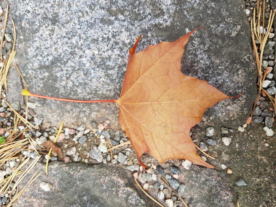 photoblog image Lönnlöv - Maple leaf