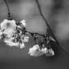 Körsbärsblommor - Cherry blossoms