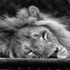 Asiatisk lejon - Asiatic lion (Panthera leo persica)