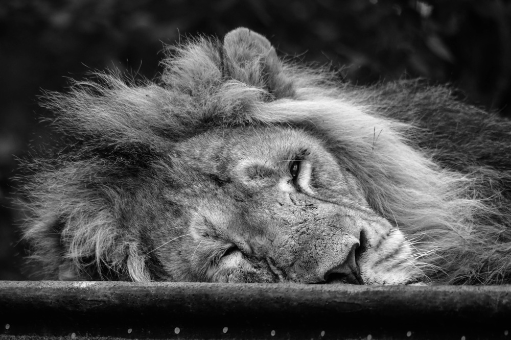 photoblog image Asiatisk lejon - Asiatic lion (Panthera leo persica)