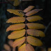 Rönn - Rowan (Sorbus aucuparia)