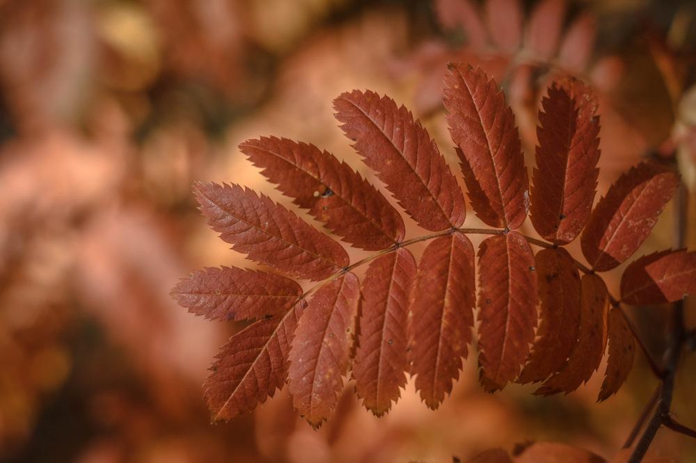 photoblog image Rönn - Rowan (Sorbus aucuparia)