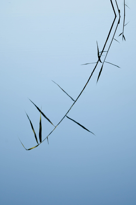 photoblog image Vass - Reeds (Phragmites australis)