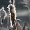 Bredkaveldun - Bulrush (Typha latifolia)