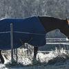 Häst - Horse