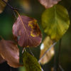 Bok - Beech (Fagus sylvatica)