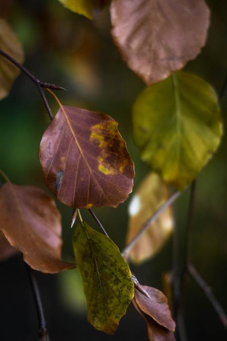 photoblog image Bok - Beech (Fagus sylvatica)