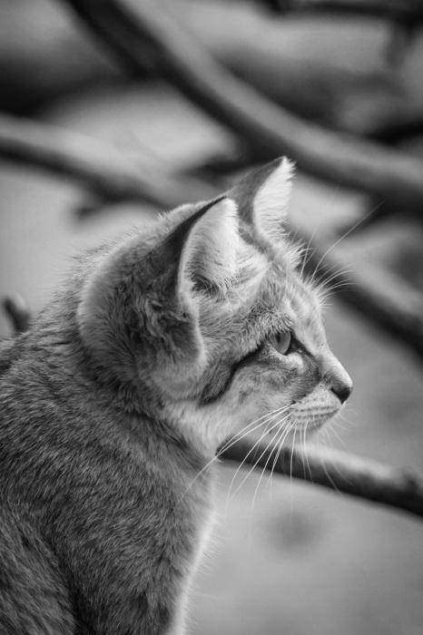 photoblog image Sandkatt - Sand cat (Felis margarita)