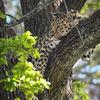 Amurleopard - Amur leopard(Panthera pardus orientalis)