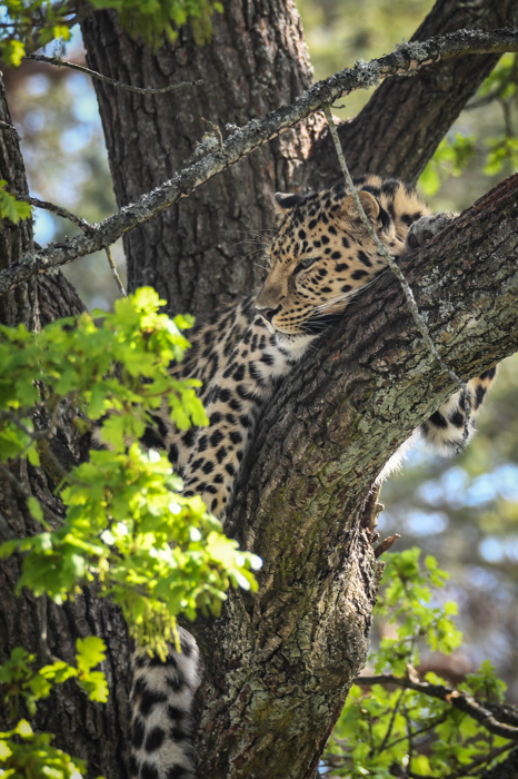 photoblog image Amurleopard - Amur leopard(Panthera pardus orientalis)