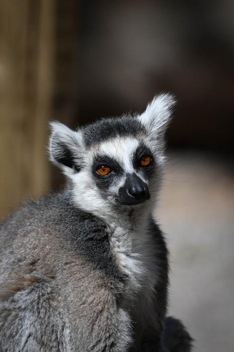 photoblog image Ringsvansad lemur - Ring-tailed lemur (Lemur catta)