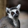 Ringsvansad lemur - Ring-tailed lemur (Lemur catta)