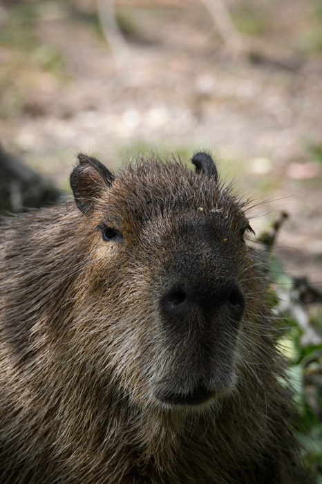 photoblog image Kapybara - Capybara (Hydrochoerus hydrochaeris)
