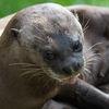 Jätteutter - Giant otter (Pteronura brasiliensis)