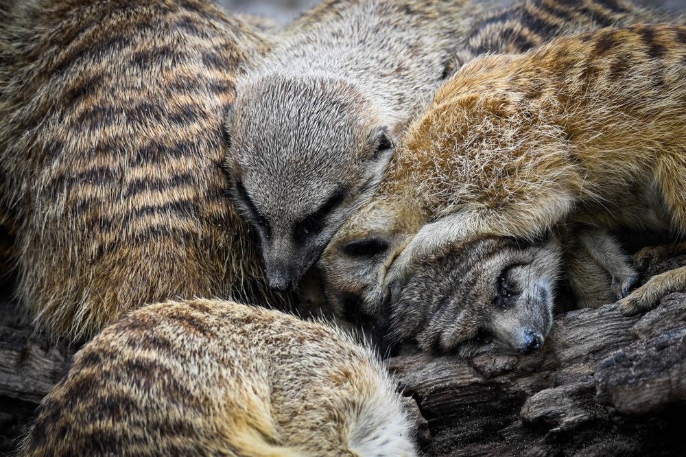 photoblog image Surikat - Merkat (Suricata suricatta)