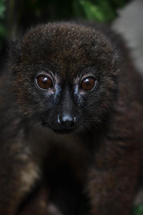 photoblog image Rödbukad lemur - Redbellied lemur(Euleumr rubriventer)