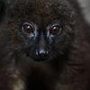Rödbukad lemur - Redbellied lemur(Euleumr rubriventer)