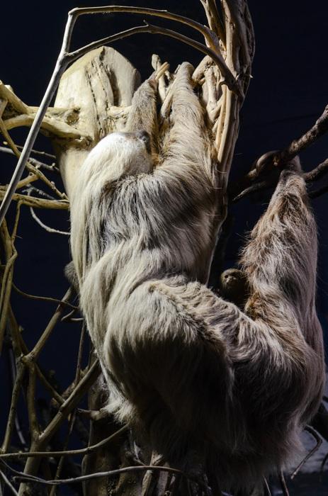 photoblog image Tvåtåig sengångare-Hoffmann's two-toed sloth