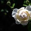 Ros - Rose 'Lichfield Angel' (Rosa)