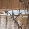 Vass - Reeds (Phragmites australis)