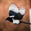 Skata - Common magpie (Pica pica)
