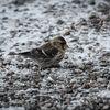 Gråsiska - Common redpoll (Acanthis flammea)
