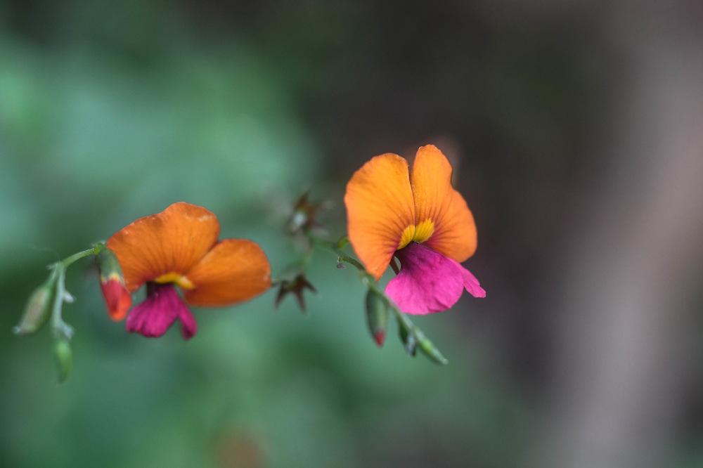 photoblog image Chorizema cordatum