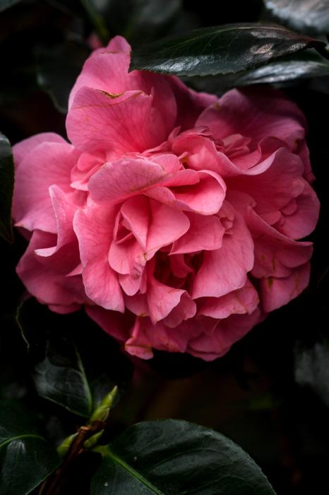photoblog image Camellia japonica 'Tiffany'