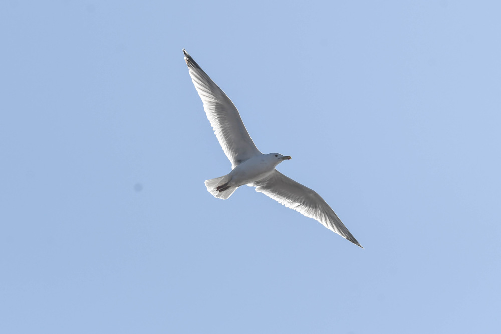 photoblog image Gråtrut - European herring gull (Larus argentatus)