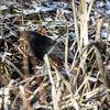 Koltrast - Common blackbird (Turdus merula)