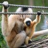 Nordlig vitkindad gibbon-Northern white-cheeked gibbon