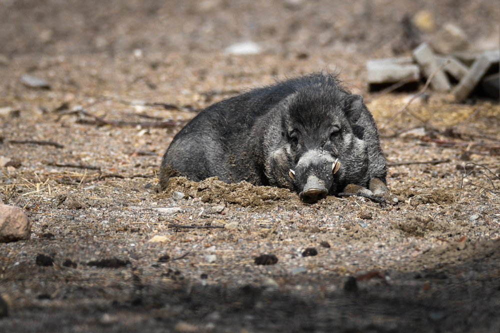 photoblog image Visayavårtsvin - Visayan warty pig (Sus cebifrons)