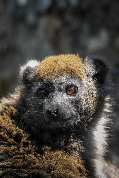 photoblog image Alaotran lemur - Alaotran Gentle Lemur